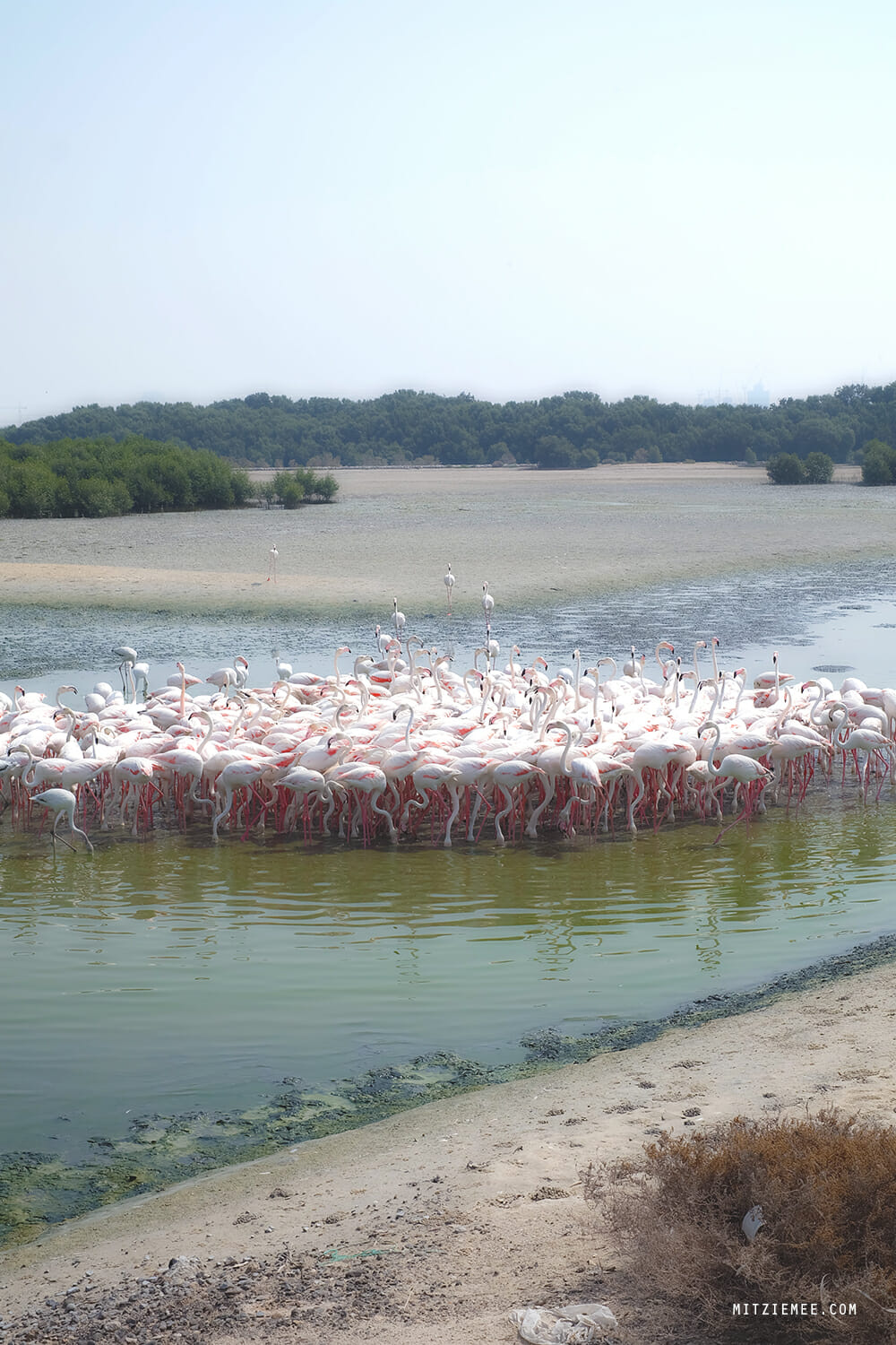 Flamingos at Ras Al Khor Wildlife Sanctuary, Dubai