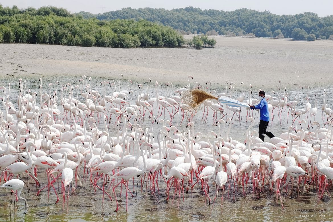 Flamingoer i Dubai, Ras Al Khor Wildlife Sanctuary