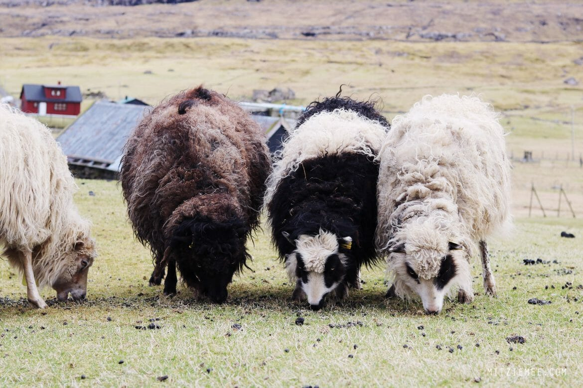 Faroese sheep, Faroe Islands