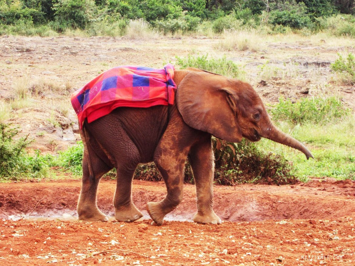 Baby elephant at the Sheldrick Wildlife Trust Elephant Nursery in Nairobi